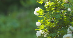 white tender rose flowers on briar bush pan move - stock footage