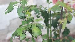Leaf Eating Pests Stock Footage