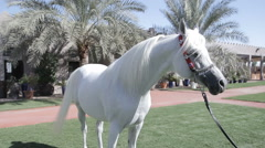 White Arab horse stays on a green meadow Stock Footage
