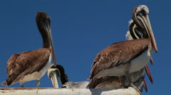 Pelicans on the roof Stock Footage
