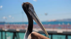 Pelican close-up Stock Footage