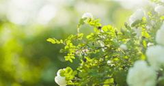 white tender rose flowers on briar bush sways on whte wind - stock footage