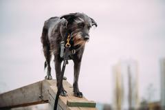 Mixed breed Dog in agility training - stock photo