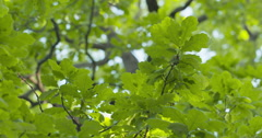 Large oak tree from below with green leaves in sunny day Stock Footage