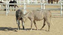 Young and beautiful horses in a corral. Nice thoroughbred foals in stable Stock Footage