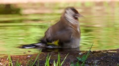 Goldfinch bathing in watering place - stock footage