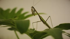 Mantis on a Green Leafs Stock Footage