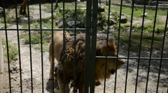 Caged big lion walks behind bars in a zoo Stock Footage