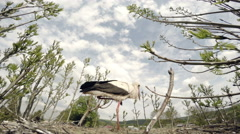 Black and white stork protects its nest of birds. Shooting from the slot at the Stock Footage