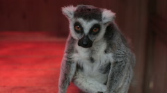 Grey lemur sitting close up Stock Footage