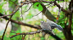 Pigeons on a branch. - stock footage