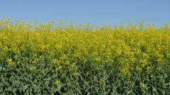 Rapeseed plant in field panning video - stock footage