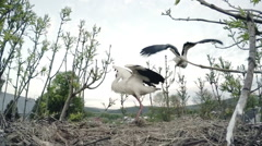 Two storks fly slot. Slow motion Stock Footage