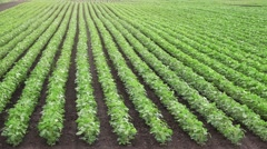 Cultivated soybean field - stock footage