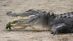 Alligator on trail Stock Footage