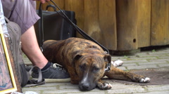 Tired dog resting beside the owners feet - stock footage