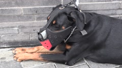 Large police dog with a mask on Stock Footage