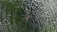 Mai Thong spider on web. Stock Footage