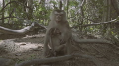 Monkey with baby eating. Monkey Hill in Phuket, Thailand Stock Footage