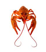 Juicy red cooked crayfish with a mustache and bulging eyes on a white backgro Stock Photos