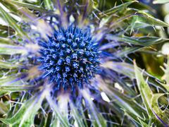 blue Thistle (eryngium) flower close up - stock photo