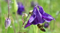 Honeybee pollinating European columbine in flower Stock Footage