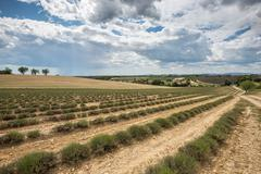 Empty lavender fields of Provence after harvesting - stock photo
