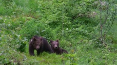 Two playful brown bear cubs play fighting in spring - stock footage