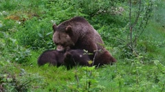 Brown bear female playing with two playful cubs in spring Stock Footage
