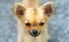 Little charming adorable chihuahua puppy on blurred background. Eye contact Stock Photos