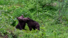 Two  playful brown bear (Ursus arctos) cubs having fun by playfighting in spring Stock Footage
