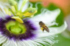 Blur background bee flying over flower - stock photo