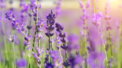 Extreeme close up of lavender flowers. Lavender field in Crimea. Stock Footage