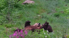 Female brown bear playing with two playful cubs in spring Stock Footage