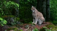 Eurasian lynx (Lynx lynx) sitting in woodland - stock footage