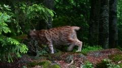 Eurasian lynx (Lynx lynx) sitting in woodland and walking away Stock Footage