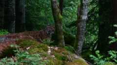 Eurasian lynx showing camouflage colours while hunting in forest - stock footage