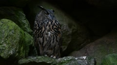 Eurasian eagle owl sitting on rock ledge in cliff face Stock Footage
