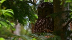Ural owl (Strix uralensis) perched in pine tree spots prey below Stock Footage