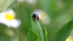 Beetle Oulema Melanopus on a flower leaf washes - stock footage