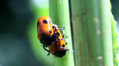 Ladybugs mating in the grass - stock footage