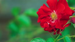 Beautiful red rose close-up slow moving in wind Stock Footage