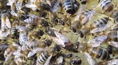 Queen Bee and Bees Stock Footage