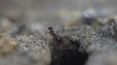 Ants crawling out of nest Stock Footage