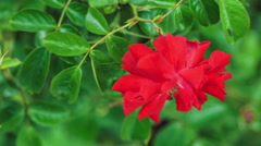Beautiful red rose close-up slow moving in wind, green leaves on background Stock Footage
