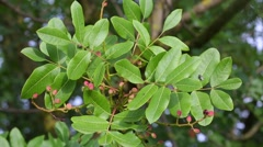Pistacia terebinthus leaves closeup Stock Footage