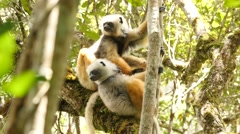 Diademed sifaka in Madagascar rainforest Stock Footage