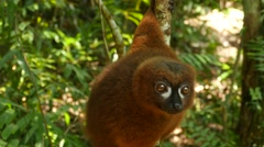 Red-bellied lemur clinging on the tree, looking around, portrait Stock Footage