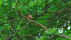 wildlife chaffinch bird in Oak Tree - stock footage