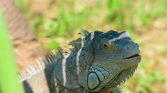 an iguana in the shade of the tree - stock footage